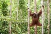 Orangutan in its Habitat