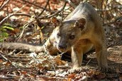 a fossa in the wild