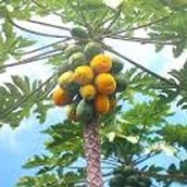 Ha made a papaya tree