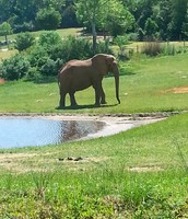 Asheboro Zoo Elephant
