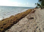 Plentiful Seaweed