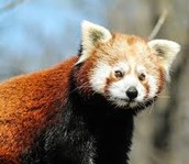 Fun Fact: The Truth About Red Pandas