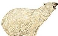 Plolar bear