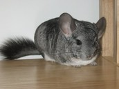 Chinchilla's