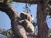 were do koalas live?