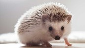 what are the diffrenets about a porupines quills and a hedgehogs quills