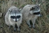 Adult Raccoons