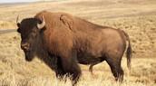 A Bison standing i its habitat