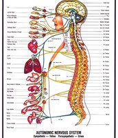 The organs all work together to help the body communicate.
