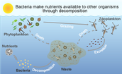 Decomposition Bacteria