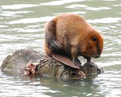 fun facts on a beavers lifestle