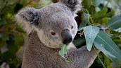 Facts about the koala