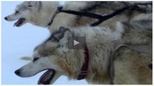 The Sled Dogs of the Arctic Circle | Nature