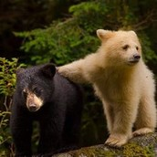 Bears are skillful hunters and can catch prey easily