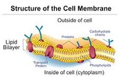 Proteins And Carbohydrates Going Through Cell Membrane
