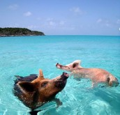 Wild pigs going for a swiw in the gorgeous waters of the Caribbean