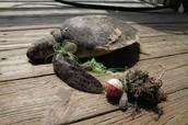 Pitiful turtle stucked