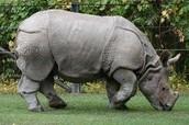 Javan Rhinos