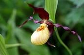 Provincial Flower
