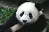 Panda Adaptations