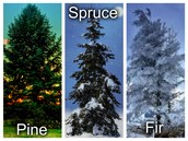 Pine, spruce, and fir trees!