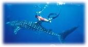 Bucea con tiburoned ballenas