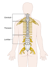 Spinal System