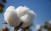 cotton in the atumn