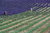 Lavender being harvested