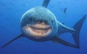 Great White Shark Or Carcharodon carcharias