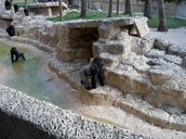 ^Gorilla in New Exhibit^