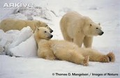 Polar bear relaxing