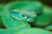 An Honduras Palm Pit Viper Snake
