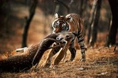 tiger biting prey in the neck