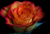 And a yellowish red rose!