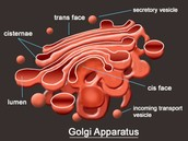 Describing the different parts of The Golgi Body