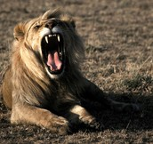 Lions have sharp teeth.