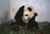 Panda licking a baby