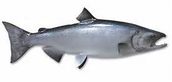 Origin of Salmon