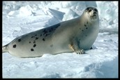 Grown Harp Seal