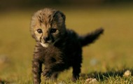 cheetahs cubes