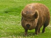 """He's Not A Hog"""