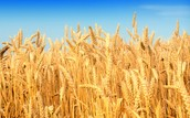 What Weather Will Do to Our Crops