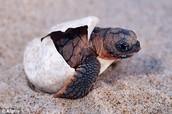 Loggerhead Sea turtle hatching