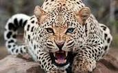 Panthera Onca (Jaguar)