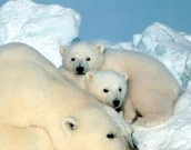 why are polar bears going exctnict?!?!?!?!