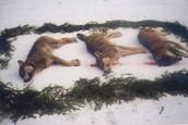 Dead Wolves