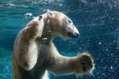 Pourquoi sont les ours blancs deviennent éteint à travers le monde?