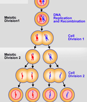 First/second stage of Meiosis