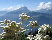 The Edelweiss – Switzerland's national flower
